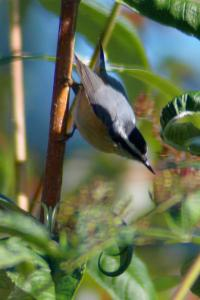 red-breasted-nuthatch-10052010.jpg